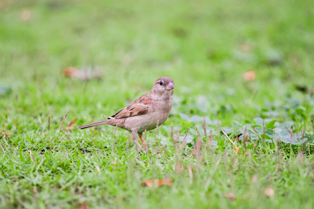 brown warbler bird on the grass finding food Stock Photo