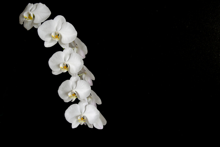 white orchids: Beautiful white orchids on the black background