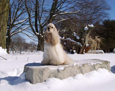 pure bred: cocker spaniel portrait in winter scene