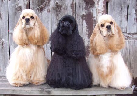 spaniel: three American Cocker Spaniel (show dogs)