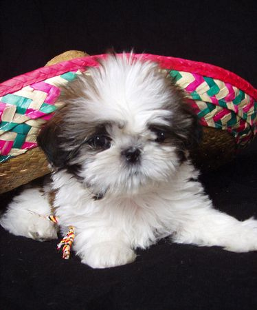 shih tzu puppy under mexican sombrero photo