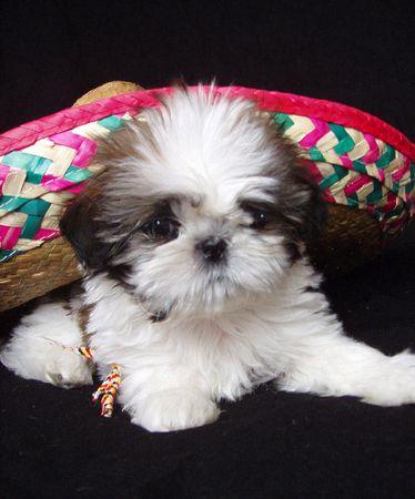 shih tzu puppy under mexican sombrero