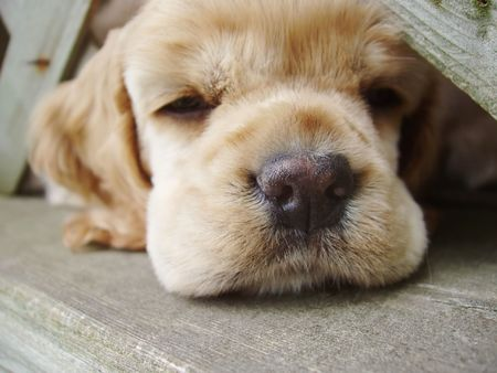 secure growth: cocker spaniel puppy falling asleep with head under fence Stock Photo