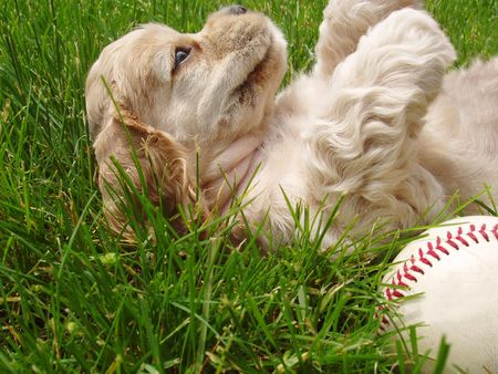 dodgers: playful cocker spaniel puppy with baseball