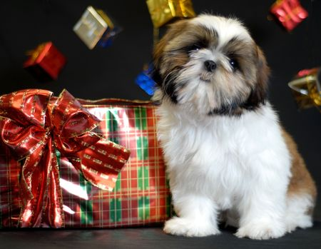 shih: ten week old shih tzu puppy surrounded by christmas presents