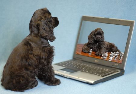 american cocker spaniel: american cocker spaniel puppy looking at image of herself in computer