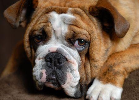 9 months old: brindle rojo bulldog 9 meses de edad - campe�n de sangre  Foto de archivo