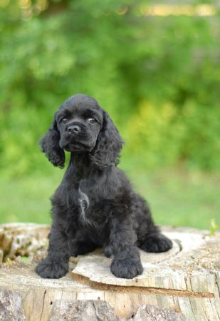 conformation: 9 week old American cocker spaniel puppy - champion bloodlines