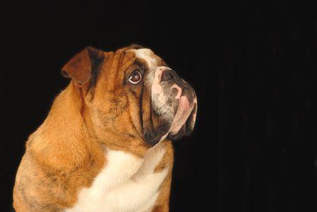 conformation: nueve meses de edad las mujeres bulldog estudio retrato - campe�n de sangre