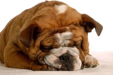 conformation: brindle rojo cachorro bulldog Ingl�s - campe�n de sangre
