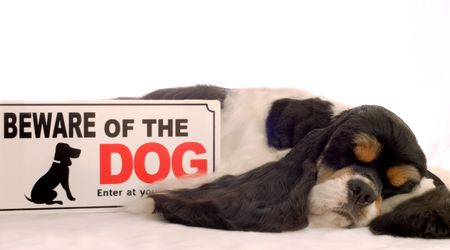 tri color american cocker spaniel sleeping with beware of dog sign Stock Photo - 3346758