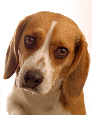 two year old: two year old male beagle on white background Stock Photo