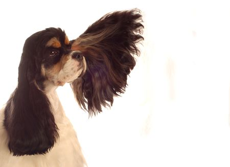 american cocker spaniel with ear flying out - champion bloodlines photo
