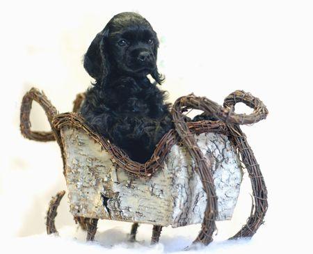 american cocker spaniel puppy riding in wicker sleigh - champion bloodlines photo