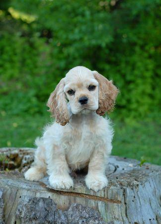 conformation: diez semanas de edad Cocker americano cachorro sentado en toc�n del �rbol - campe�n de sangre