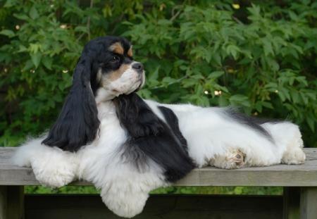 conformation: retrato de tri color cocker spaniel americano muestran perro sentado en el banco en frente de follaje de color verde