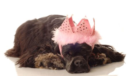 bore: American cocker spaniel with pink feathered tiara