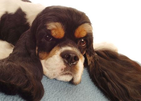 bloodlines: tri color american cocker spaniel resting - champion bloodlines Stock Photo
