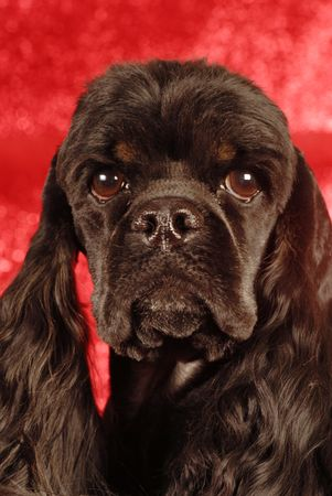 trained: head shot of black and tan American cocker spaniel on red background