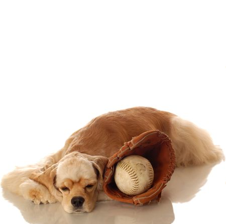 yankees: American cocker spaniel resting after game of baseball