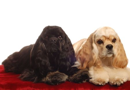 two american cocker spaniel dogs sitting on red bed isolated on white background Stock Photo