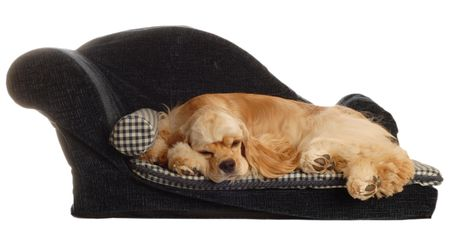 comfy: cocker spaniel laying on dog bed isolated on white background