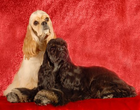 conformation: two american cocker spaniels on red background