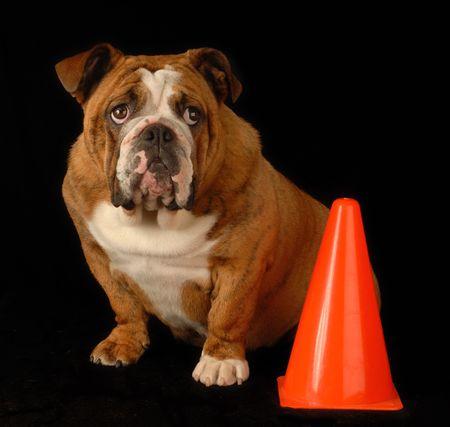 red brindle english bulldog sitting beside orange pylon with guilty expression photo