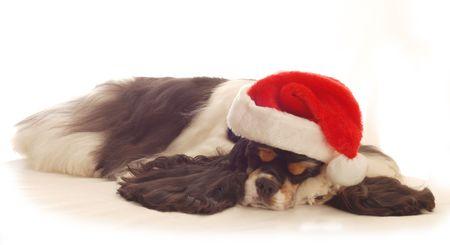 cocker spaniel sleeping wearing red santa hat on white background photo