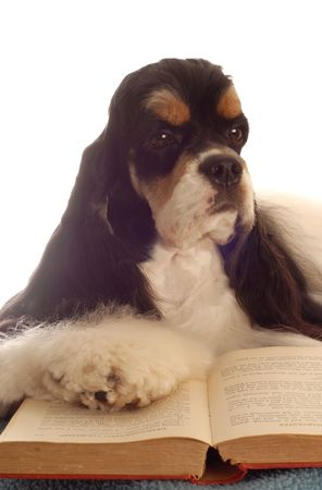 American cocker spaniel reading a book - champion bloodlines photo