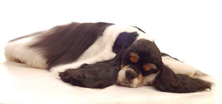 bloodlines: american cocker spaniel dog sleeping - champion bloodlines