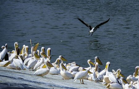 A pelican taking off from a group of pelicans in a water reservoir   3_Toovit_Begun-mizpor