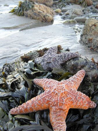 starfish re-growing a leg        Stock Photo
