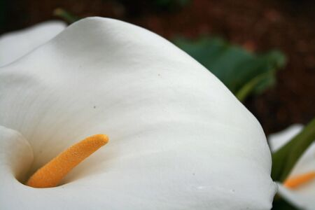 white lilly flower with pollen