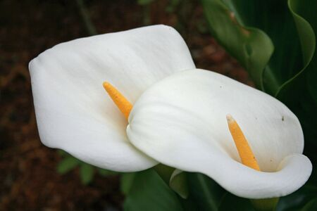 two white lilly flowers