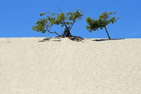 砂丘の砂の木