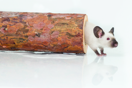 siamese: Siamese mouse coming out of log