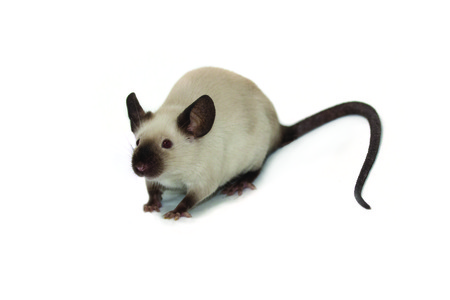 siamese: Little siamese pet mouse on white background