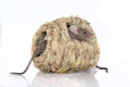 shop for animals: Little mice playing in hay ball toy Stock Photo