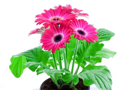 enrich: Pink gerbera in a pot on a white background