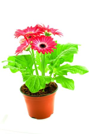 Pink gerbera in a pot on a white background Stock Photo - 4571792