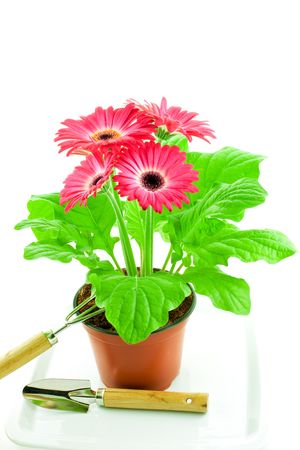 Pink gerbera in a pot with floriculture chopper and shovel on a white background Stock Photo - 4571794