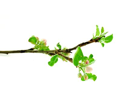 apple tree branch on a white background Stock Photo
