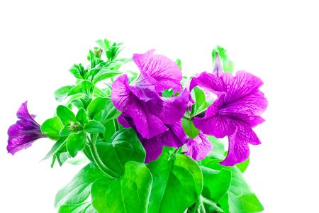 bright purple petunia on a white background Stock Photo
