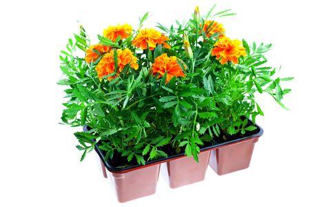 bright orange marigolds in plastic pots on a white background
