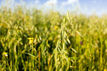 oat in a cereal field. blue sky is a backround. small GRIP Stock Photo - 5642752