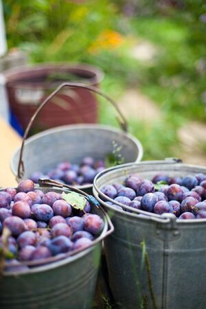three bucket of plums in a garden. small GRIP