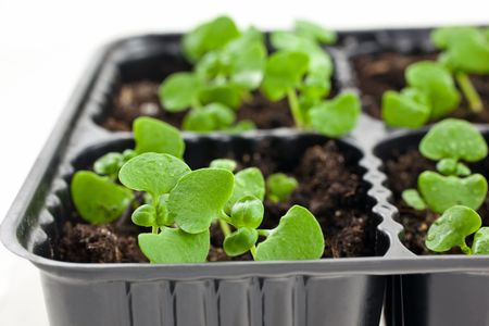 small green basil sprouts in plastic pots on white background. closeup