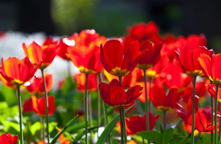 red tulips bed. transparent sunny flowers, focus in centre of shot