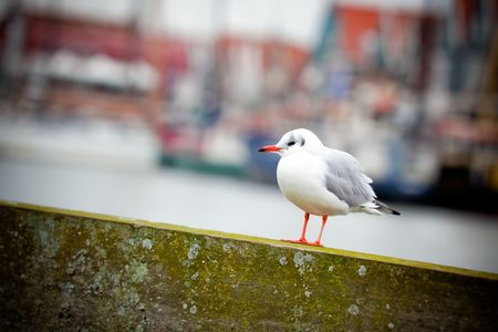 single white seagull on a harbour background. small GRIP photo
